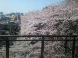 090405_sakura