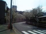 sakura_060327